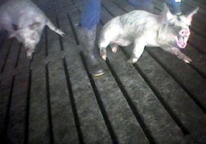 Sick and injured pigs were brought to a pen where they were, in many cases, left to die without veterinary care. This pig was unable to drink for days before finally dying.