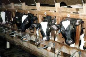 One million calves are raised for veal annually in the United States—intensively confined in individual stalls so small they can't turn around during their entire 16- to 18-week lives before slaughter. Widely known for their inherent cruelty, veal crates are being phased out in Europe—yet remain in use throughout the United States.